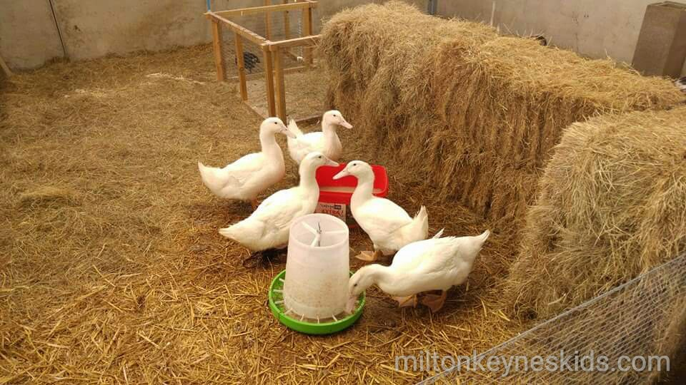 Green dragon eco farm ducks