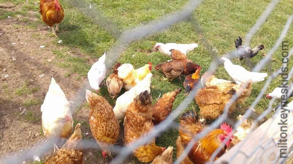 Green dragon eco farm chickens