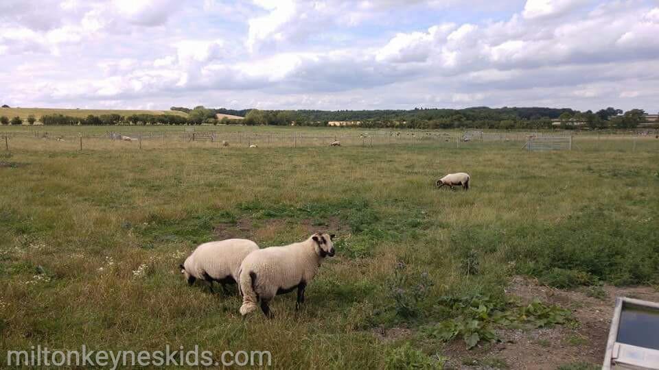 Green dragon eco farm sheep