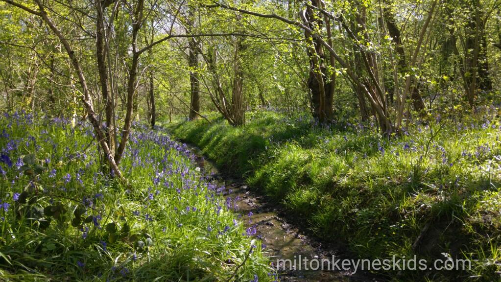 Howe Park Wood Bluebells
