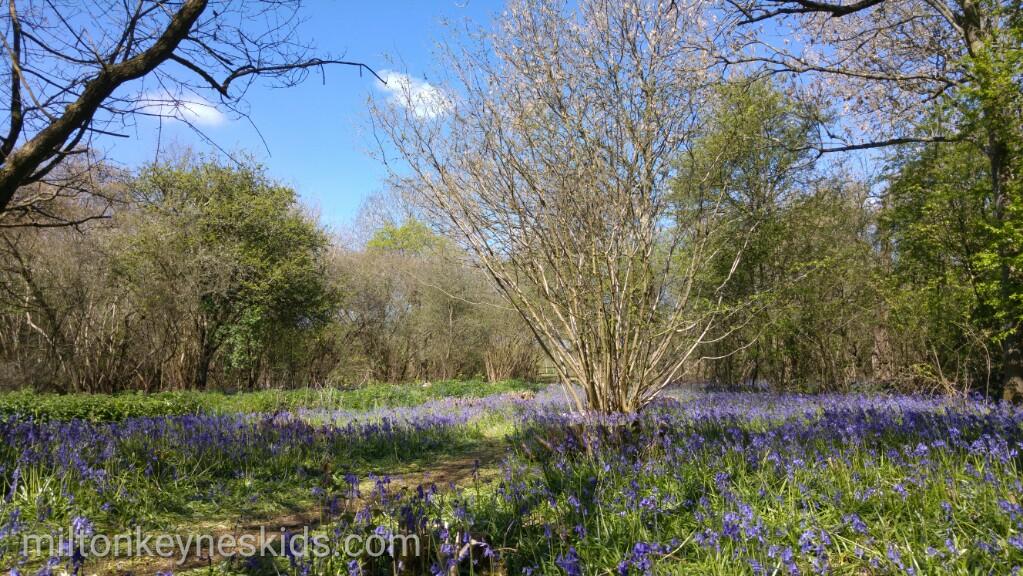 Bluebells at Howe Park Wood